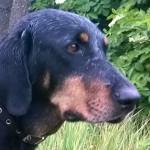 SSM Opal erdelyi kopo kutya fej