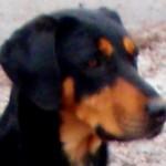 SSM Oeroem erdelyi kopo szuka kutya feje