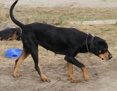 SSM Zsalya erdelyi kopo szuka kutya 7
