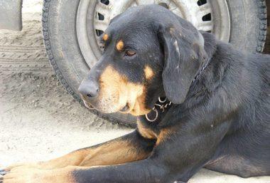 SSM Zsalya erdelyi kopo szuka kutya 4