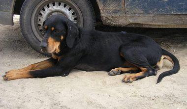 SSM Zsalya erdelyi kopo szuka kutya 8