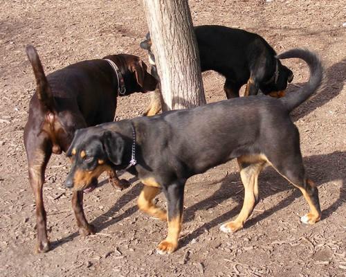 4. kép. Nitro vizsla megszagolja Remetét hátulról, elől Narancs szuka