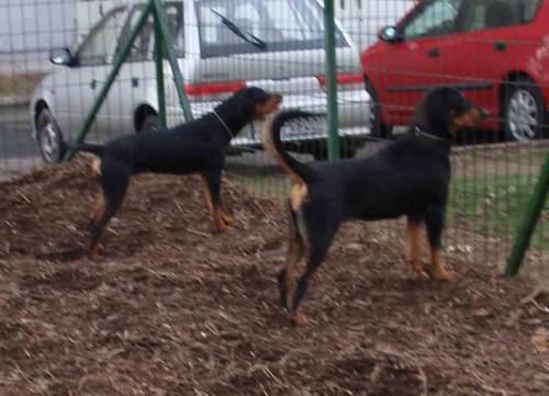 22. kép: Idegen kutya és gazdája közelít a futtatóhoz. Ritka a gazdát ugatja, Narancs a kutyát várja, egyelőre öntudatos tartásban, de kicsit borzolva.