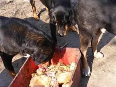 56. kép. Zigóta eszik, Zsarnok a másik edényhez ment. Opál próbálkozik.