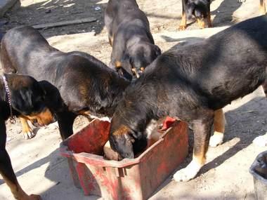 59. kép. Zsarnok visszajön és Zigi mellett eszik Narancs, Zigi lánya morog