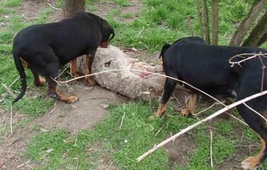 43. kép Zsákmány-őrzés 5. Cefta és Zenta eszik, mindenkit elzavartak, miután nem avatkoztam közbe